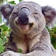 koala_gongabear